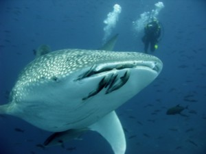 Whaleshark Galapagos Islands Scuba Diving