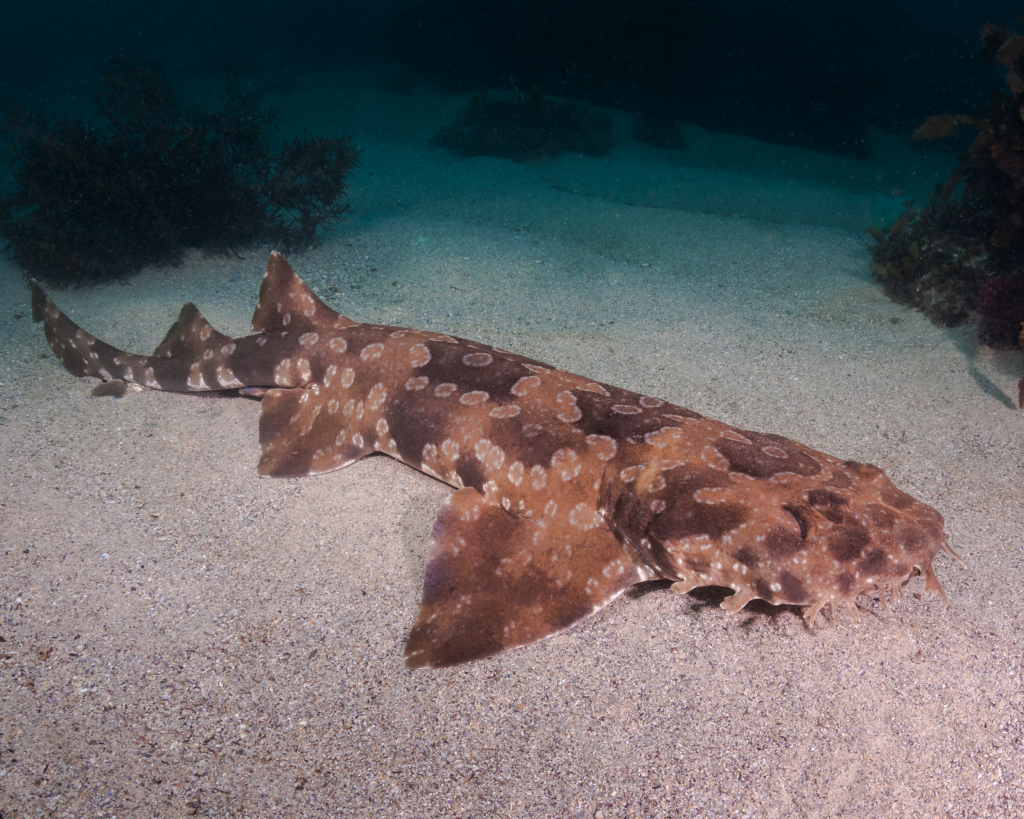 Wobbegong Shark Scuba Diving Sydney NSW